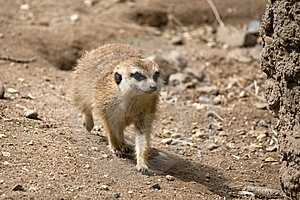 Meercat Royalty Free Stock Images - Image: 14325059