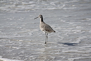 Sandpiper Stock Photography - Image: 14325082