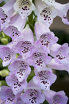 Light Purple Foxglove Flowers Royalty Free Stock Images - Image: 14327359