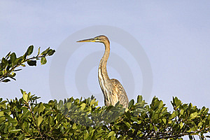 Grey Heron Ardea Cinerea At Intaka Wetlands Royalty Free Stock Photos - Image: 14330068