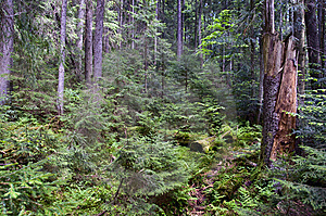 Forest Thicket Royalty Free Stock Images - Image: 14333759