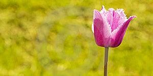 Purple Tulip Royalty Free Stock Photo - Image: 14334015