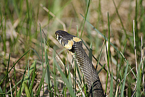 Grass Snake Royalty Free Stock Photo - Image: 14335085