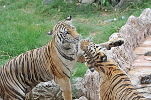Two Tigers Royalty Free Stock Images - Image: 14337549