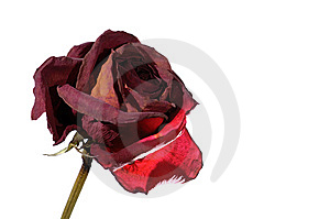Withered Red Rose Royalty Free Stock Images - Image: 14337869