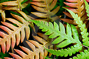 Fern Royalty Free Stock Photography - Image: 14338527