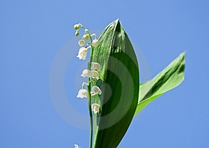 Spring, A Young Flower Lily Stock Image - Image: 14340251