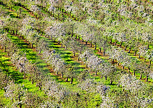 Orchards In Spring Time Stock Images - Image: 14340604
