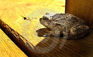 American Toad Stock Photo - Image: 14342040