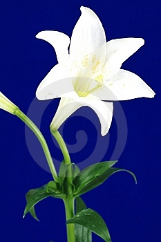 Lily Isolated Royalty Free Stock Photo - Image: 14346675