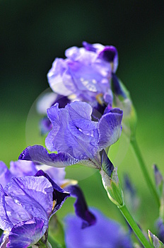 Blue Iris Royalty Free Stock Images - Image: 14350189