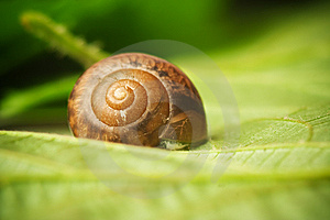Snail On A Leaf Royalty Free Stock Images - Image: 14354289