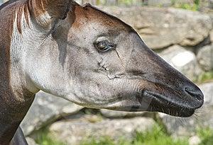 Okapi Stock Photography - Image: 14355542