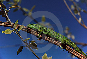 Lizard Stock Images - Image: 14355924