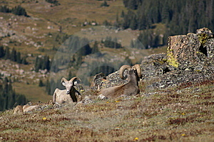 2 Bighorn Sheep In Rocky Mountain National Park Royalty Free Stock Photo - Image: 14358365