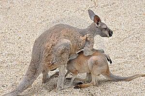 Kangaroo Mother And Kid Royalty Free Stock Photo - Image: 14361235