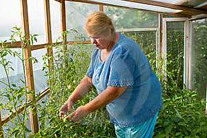 Woman Is Working Hard In A Greenhouse. Royalty Free Stock Photo - Image: 14363195