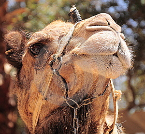 Camel Portrait. Royalty Free Stock Photography - Image: 14368197