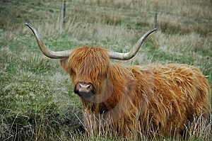 Brown Highland Cow With Serious Horns Stock Images - Image: 14373344