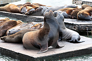 Sealion.Fisherman's Wharf.San Francisco Royalty Free Stock Image - Image: 14375986