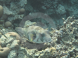 Puffer Fish Stock Images - Image: 14380064