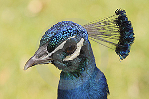 Pavo Real Royalty Free Stock Photo - Image: 14383765