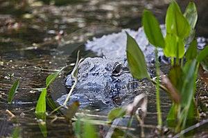 Alligator Royalty Free Stock Photos - Image: 14384198