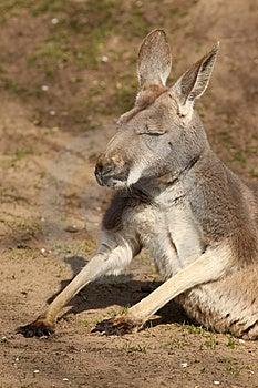 Kangaroo Sitting On The Ground Stock Images - Image: 14385974