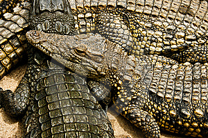 Young Crocs Royalty Free Stock Photography - Image: 14386227
