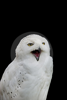 Snowy Owl Stock Photography - Image: 14386332