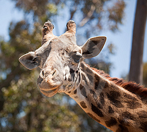 Close-up Of Giraffe Head Stock Image - Image: 14386521