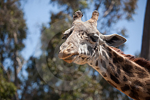 Close-up Of Giraffe Head Royalty Free Stock Photography - Image: 14386527