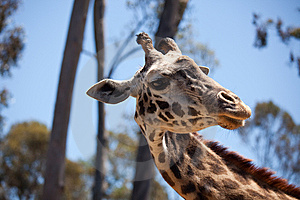 Close-up Of Giraffe Head Stock Image - Image: 14386531