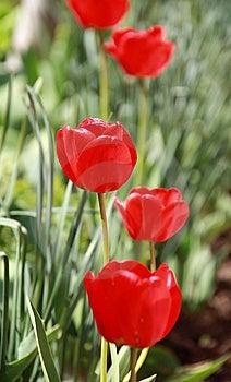 Spring Tulip Stock Image - Image: 14386931