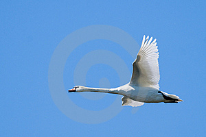 Mute Swan In Flight Stock Photography - Image: 14387202