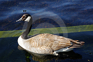 Canadian Goose Royalty Free Stock Photography - Image: 14387777