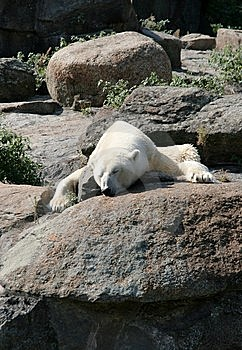 Sleeping Polar Bear Royalty Free Stock Images - Image: 14388619