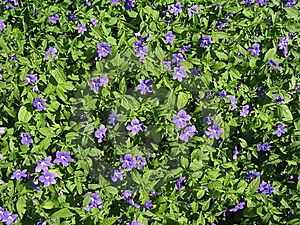 Violet Flowers Royalty Free Stock Images - Image: 14389979