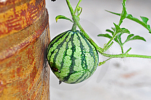 Water Melon Royalty Free Stock Photos - Image: 14391378