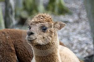 Llama. Stock Image - Image: 14394891