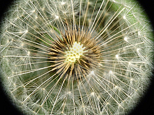 Dandelion Seed Closeup Stock Images - Image: 14396494