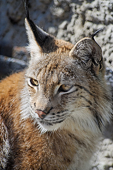 Lynx Royalty Free Stock Images - Image: 14398759