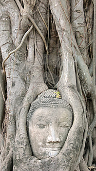Head Of Buddha Statue In Tree, Ayutthaya Royalty Free Stock Photography - Image: 14399687