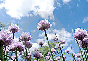 Sky And Chive Blossoms Stock Photos - Image: 14399963