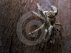 Jumping Spider Royalty Free Stock Photography - Image: 1446397