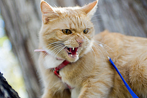 Cat Having a Hissy Fit Free Stock Photography