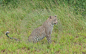 Leopard Cub In The Long Grass Of Africa Stock Photo - Image: 14405000