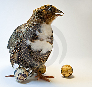 Smocking Quail With Eggs Stock Photography - Image: 14405112