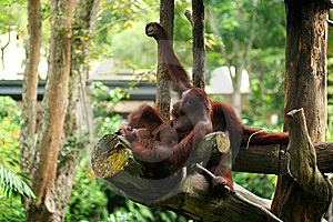 Orangutan Resting Royalty Free Stock Photography - Image: 14408407