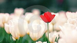 Tulip Royalty Free Stock Image - Image: 14408996